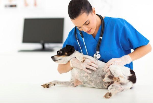 Осмотр беременной собаки ветеринаром