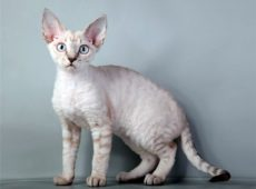 Размеры тела этих котов относятся к категории средних величин
