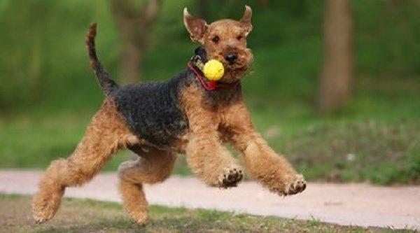 Мощные конечности этих собак позволяют им далеко и высоко прыгать