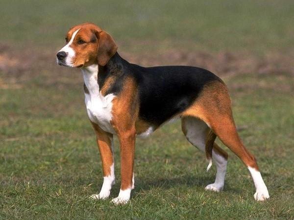 К человеку эта собака относится с любовью и большой преданностью