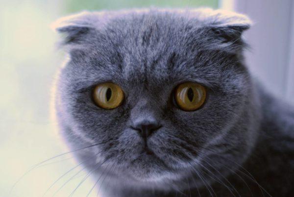 Шотландская вислоухая кошка склонна к развитию конъюнктивита