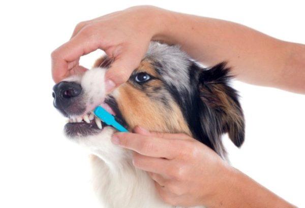 Собака не должна бояться чистки зубов