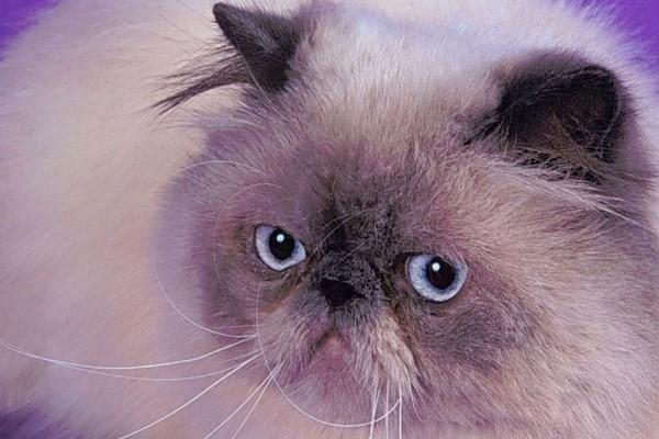 Шерсть гималайских котов по структуре шелковистая и мягкая, пушистая и прямая, невероятно приятная на ощупь
