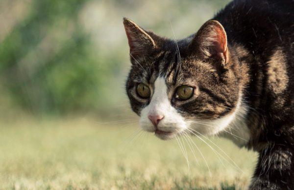 Коты, добывающие пищу самостоятельно, не нуждаются в дополнительном прикорме