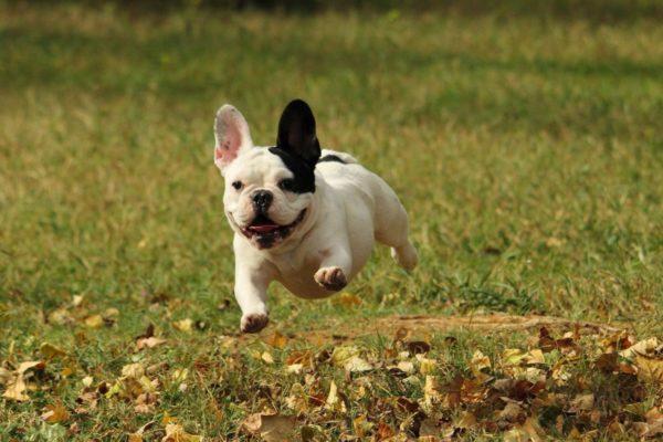 Французский бульдог с холерическим характером может убежать от хозяина в погоне за птичкой, кошкой или другой живностью, поэтому отпускать его с поводка не стоит