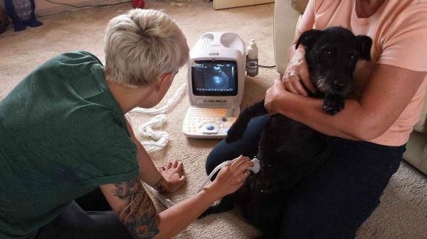 УЗИ - обследование беременной собаки