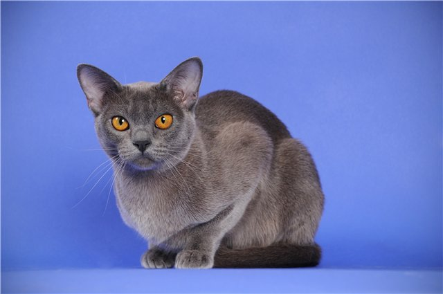 Бурма голубого окраса
