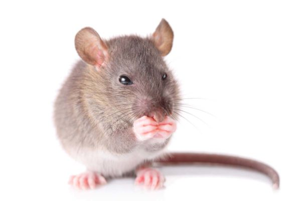 Инфекционный гепатит печени у кошек thumbnail