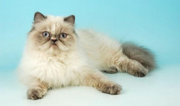 Специфический гималайский окрас данных животных - их визитная карточка, благодаря которой кошки представленной разновидности стали популярны по всему миру