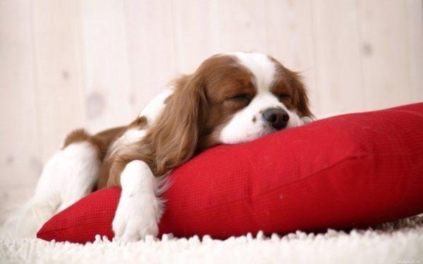 При гипотиреозе пёс быстро теряет жизненные силы
