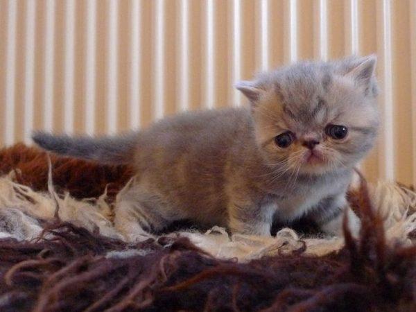 Очаровательные экзотические котята с постоянно грустными глазами способны понравиться любому
