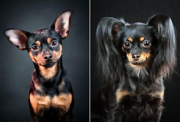Слева – гладкошёрстный той, справа - длинношёрстный