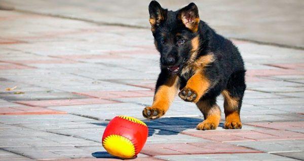 Интерес к игрушке также относится к области рефлексов у щенка