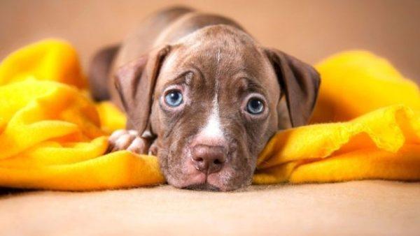 Ювенильная форма рассматриваемого недуга свойственна только маленьким щенкам