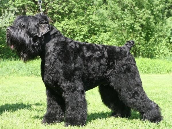 """В Советском Союзе эту собаку прозвали """"черная смерть"""""""