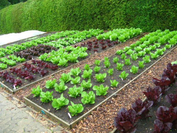Самыми питательными считаются овощи, выращенные самостоятельно
