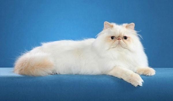 Гималайские кошки могут иметь различные окрасы, при этом, пигментированные участки и основное полотно будут всегда совпадать друг с другом оттенками