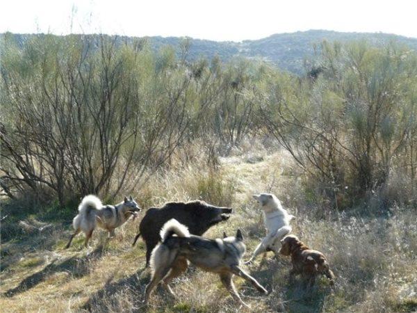 Лайки в процессе охоты на кабана