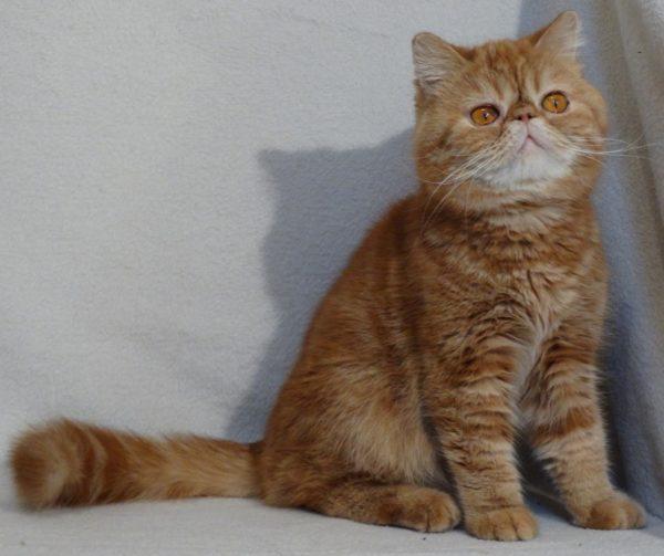 Нельзя перекармливать котов. Толстый экзот не потеряет своей внешней прелести, но со здоровьем будут проблемы.