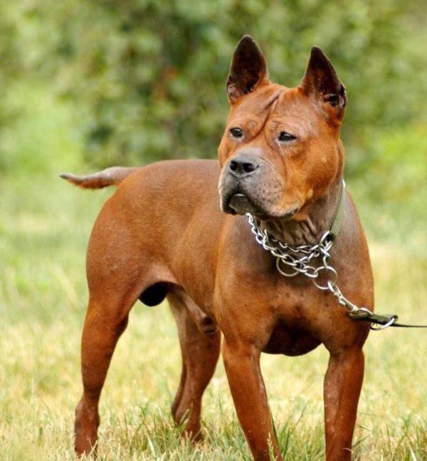 Нельзя назвать эту собаку мышечным комком, однако, скорости и силы, а также проворности и грациозности у нее хоть отбавляй