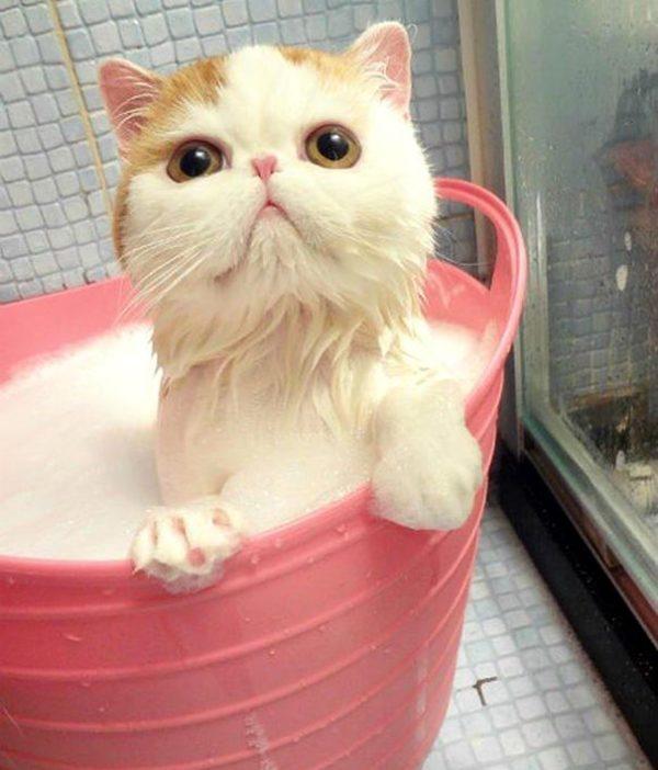 Некоторые экзотические коты просто обожают купаться.