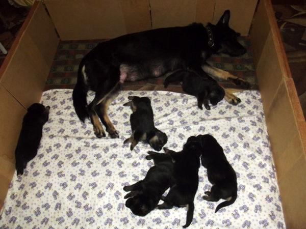 Пример оборудованного места для родов и щенков