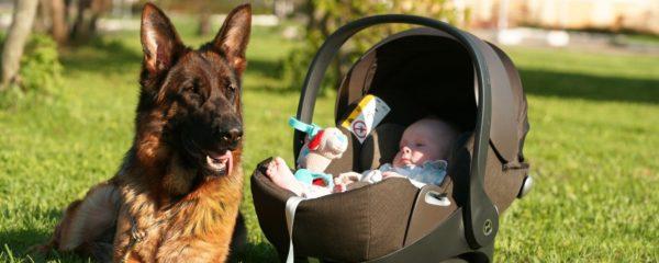 Овчарка благосклонна к малышам