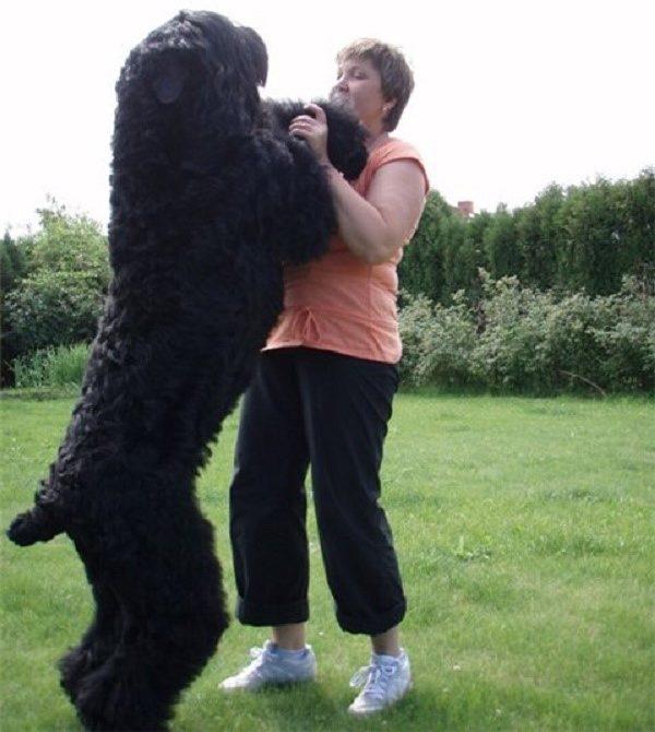 Русский терьер достаточно крупная собака