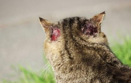 Точкой локализации поражений может стать абсолютно любая часть тела кошки
