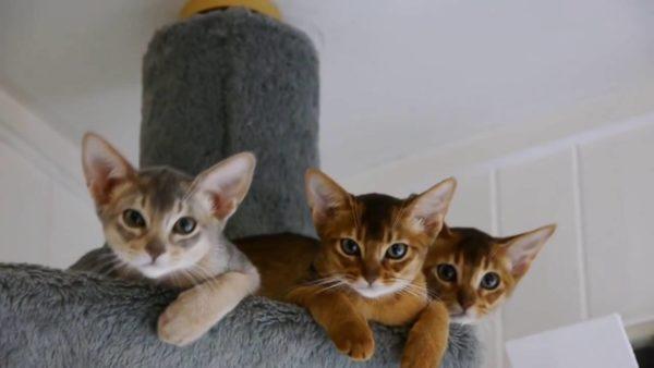 Абиссинские кошки больше других нуждаются в насыщенном распорядке дня