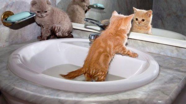 Маленького котёнка можно знакомить с водой в раковине