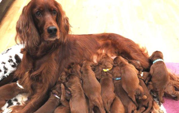 Нарушение обмена веществ у матери-собаки может провоцировать болезни щенков