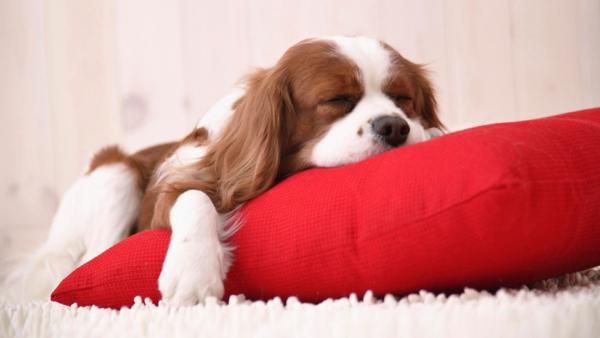 Уснувшего щенка можно перенести на лежанку