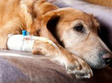 Если собака сильно худеет, применяют парентеральное питание