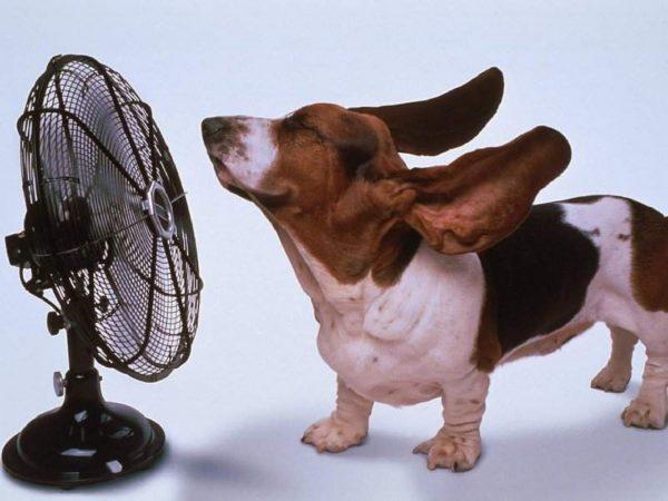 Уши собаки должны остаться сухими, чтобы не развилось воспаление