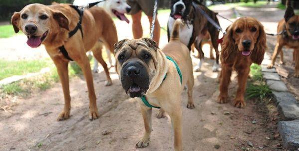 Особенно эффективно команды на выдержку отрабатываются среди нескольких собак