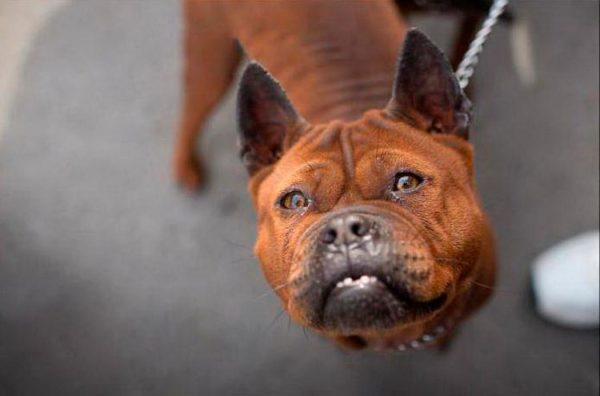 Чунцин - собака редкой породы