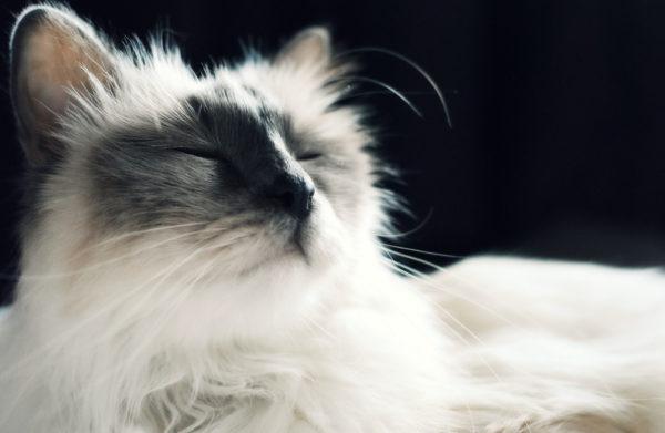 Фип у кошек: что это?
