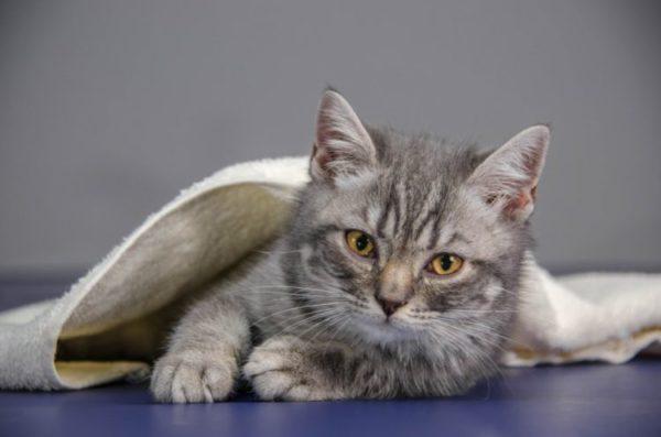 Если у вашего кота геморрой, вам придется самостоятельно подмывать ему анальное отверстие и промежность