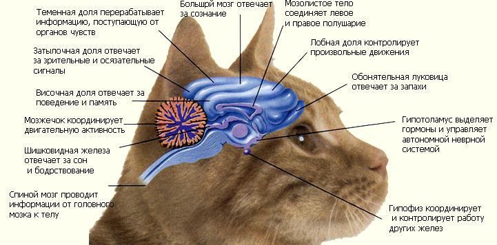 Строение мозга кошки