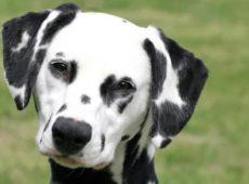 Существует мнение, что далматинов назвали по имени Юрия Далматина, который активно продвигал породу, получив несколько собак в подарок