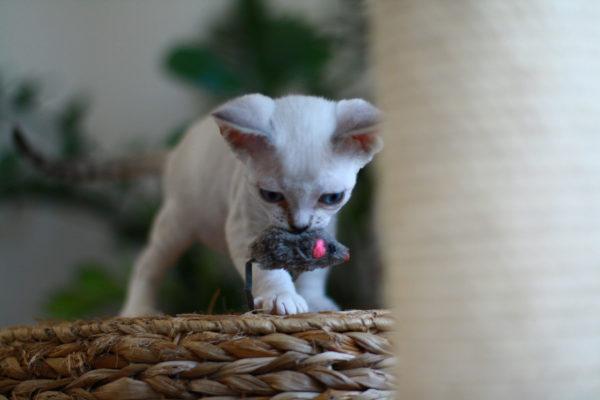 Представители данной породы могут запросто научиться давать лапу и приносить вам игрушки в зубах