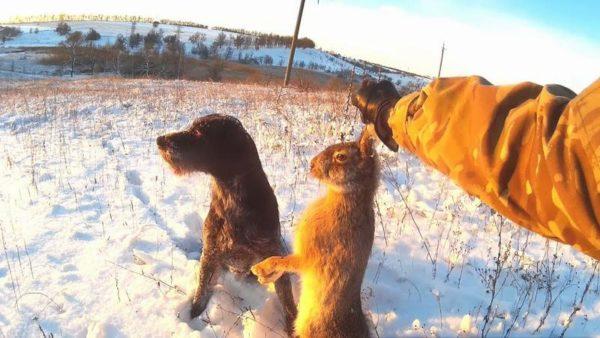 Благодаря внушительному подшерстку, животное не мерзнет даже на морозе