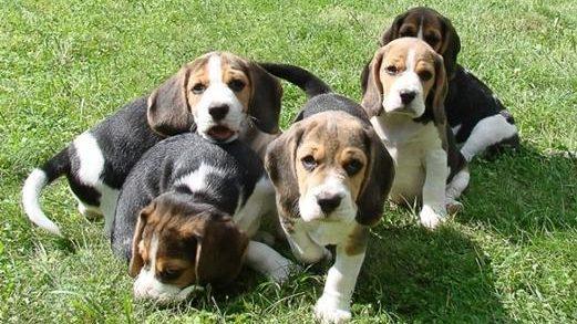 Выбирайте активного щенка