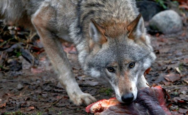 Основа волчьего рациона — мясо