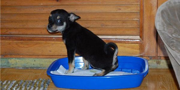Важно, чтобы собака ходила в туалет лишь специально отведенные места, даже если это происходит не на улице