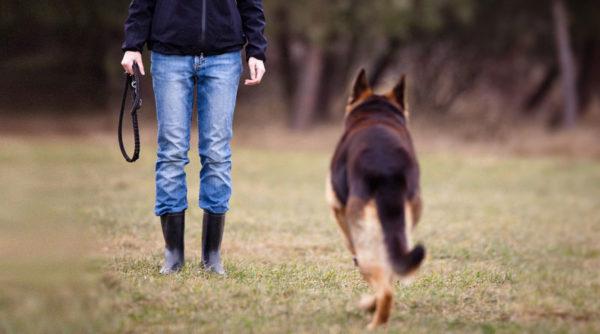 Несколько секретов о том как воспитывать щенка овчарки