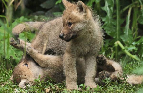 Воспитывая чистых щенков волка даже с самого маленького возраста, кинологи не могли добиться от них доверия и послушания