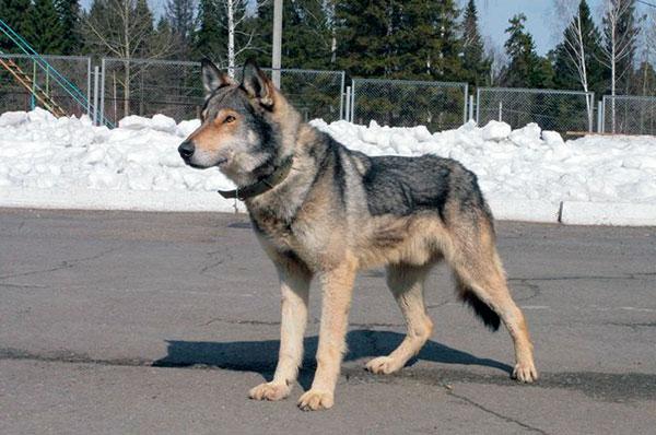 Мощное тело собак обусловило их невероятные физические особенности