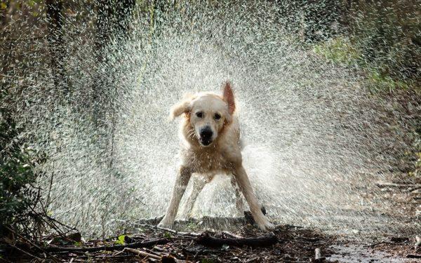В отличие от кошек собаки умеют отряхиваться от воды
